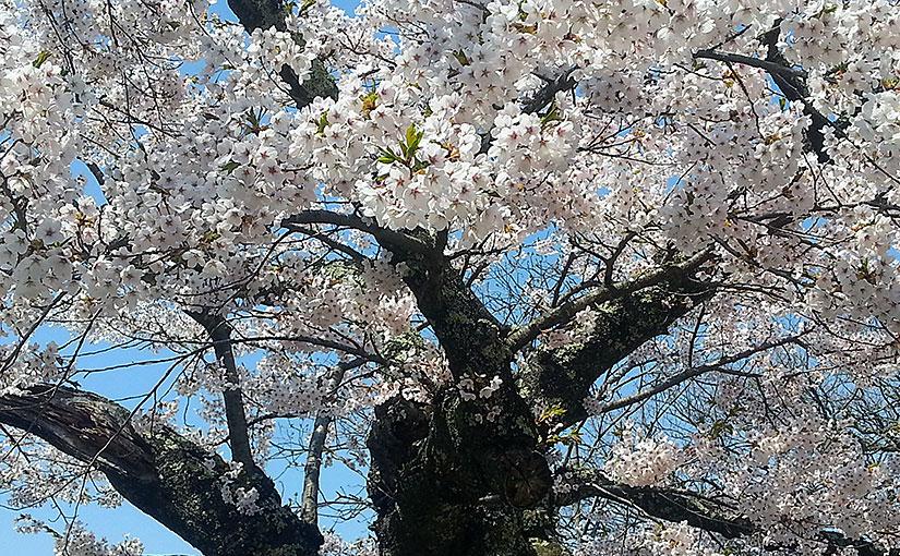 見晴公園の桜(2015年)
