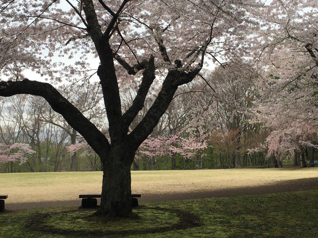 2016年見晴公園の桜-10