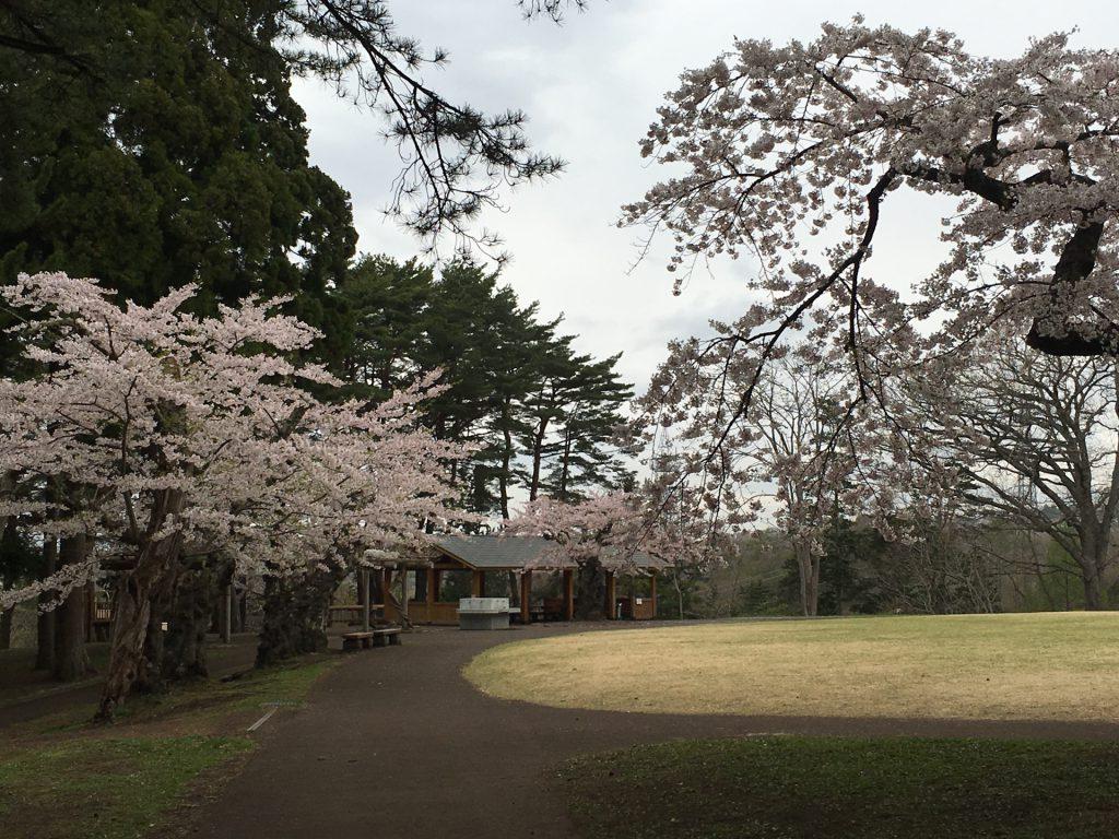 2016年見晴公園の桜-11