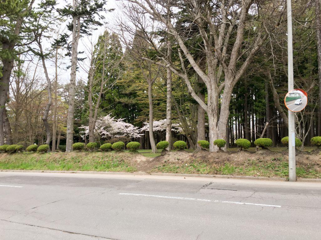 2016年見晴公園の桜-2