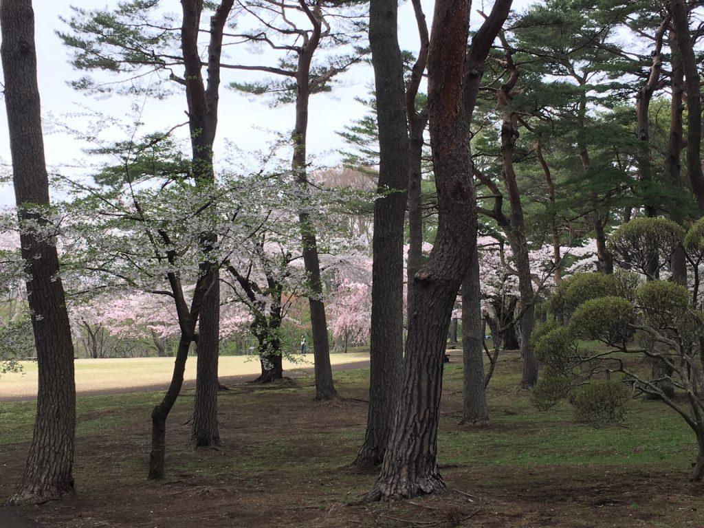 2016年見晴公園の桜-8