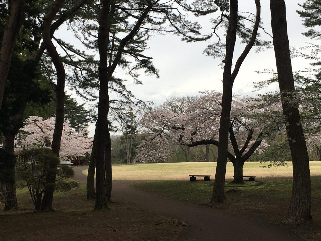 2016年見晴公園の桜-9